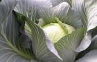 Сорт капусты белокочанной: Леопольд f1