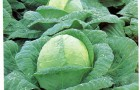 Сорт капусты белокочанной: Лежкий f1