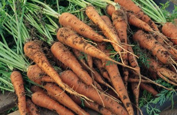 Сорт моркови: Лидия   f1