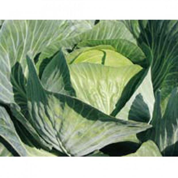 Сорт капусты белокочанной: Лион   f1