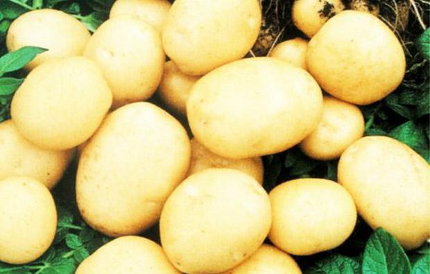 Сорт картофеля: Мадингли