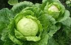 Сорт капусты белокочанной: Малайка