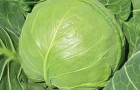 Сорт капусты белокочанной: Малышка f1