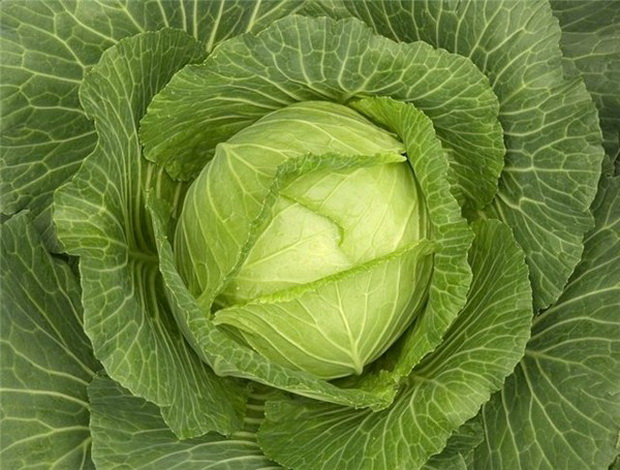 Сорт капусты белокочанной: Мама   f1