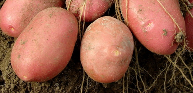 Сорт картофеля: Маниту
