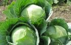 Сорт капусты белокочанной: Марьяна f1