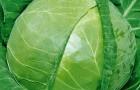 Сорт капусты белокочанной: Матрена f1
