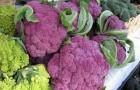 Сорт капусты цветной: Мемфис f1
