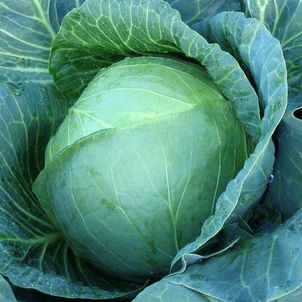 Сорт капусты белокочанной: Менди   f1