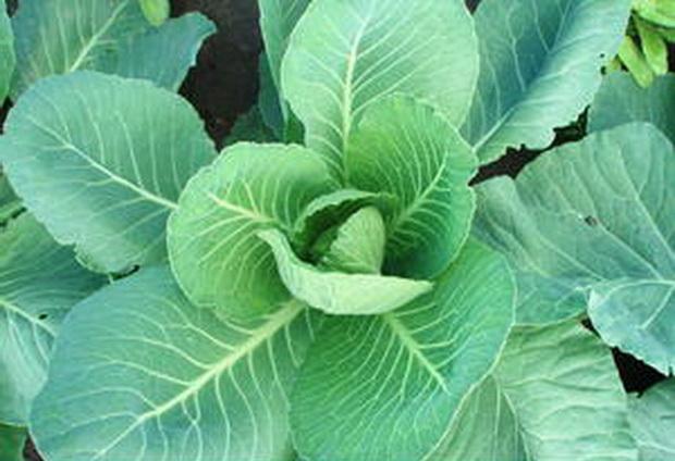 Сорт капусты белокочанной: Мензания   f1