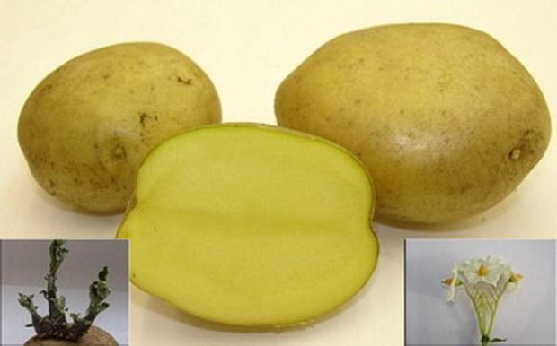 Сорт картофеля: Метеор