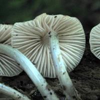 Мицена полосатоножковая