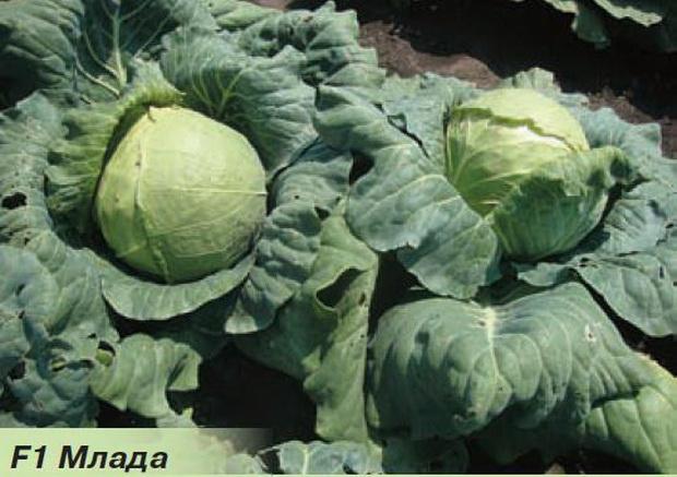 Сорт капусты белокочанной: Млада   f1