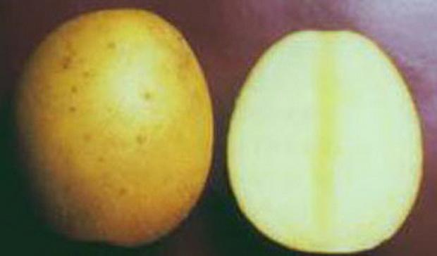 Сорт картофеля: Молли