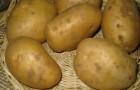 Сорт картофеля: Монализа