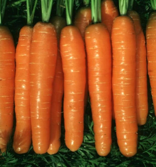 Сорт моркови: Монанта