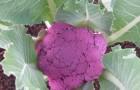 Сорт капусты цветной: Московская ультра