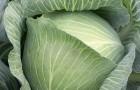 Сорт капусты белокочанной: Муксума f1