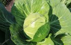 Сорт капусты белокочанной: Нахаленок f1