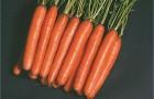 Сорт моркови: Нантес 2 тито