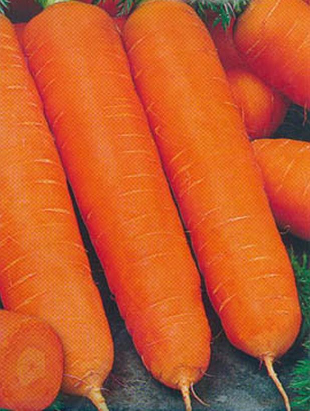Сорт моркови: Нантская семко   f1