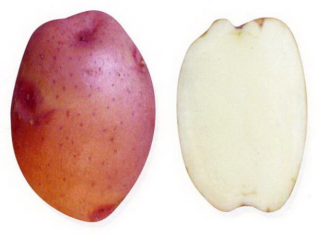 Сорт картофеля: Нарт 1
