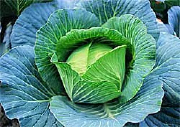 Сорт капусты белокочанной: Наташа   f1