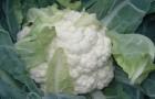Сорт капусты цветной: Наутилус f1