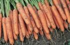 Сорт моркови: Ниагара f1