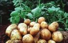 Сорт картофеля: Никулинский