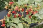 Сорт малины: Нижегородец