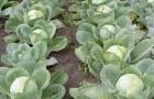 Сорт капусты белокочанной: Номер первый полярный к 206