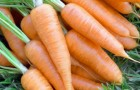 Сорт моркови: Ньюс f1