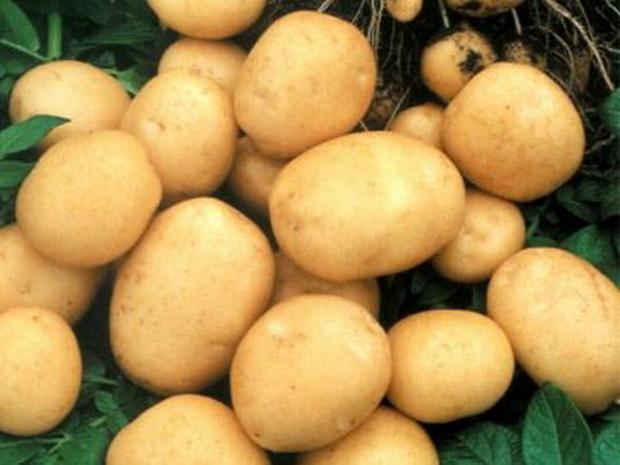 Сорт картофеля: Огниво