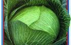 Сорт капусты белокочанной: Олимп f1