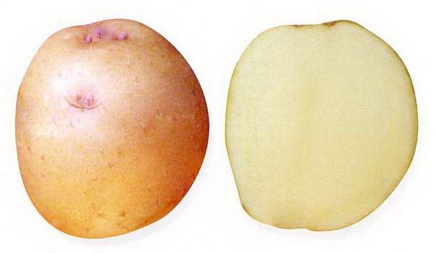 Сорт картофеля: Олимп