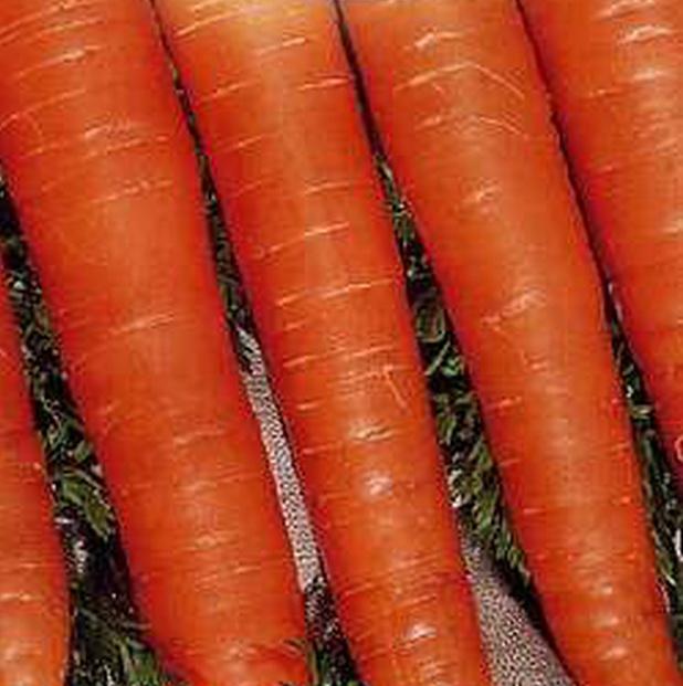 Сорт моркови: Олимпиец   f1