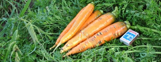 Сорт моркови: Олимпус