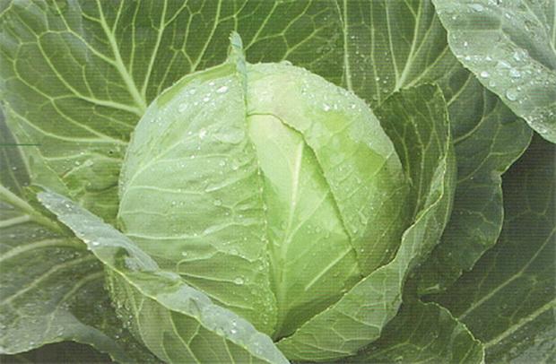 Сорт капусты белокочанной: Оракул   f1