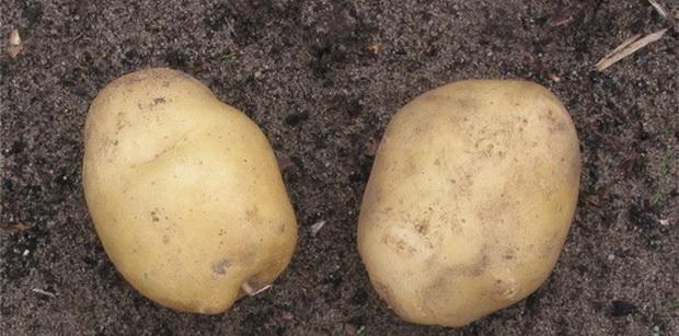 Сорт картофеля: Оредежский