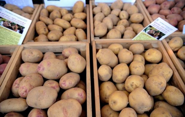 Сорт картофеля: Оркестра