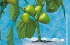 Сорт перца сладкого: Остров сокровищ