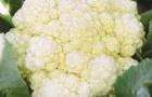 Сорт капусты цветной: Отечественная 2