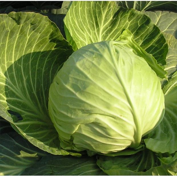 Сорт капусты белокочанной: Оторино   f1