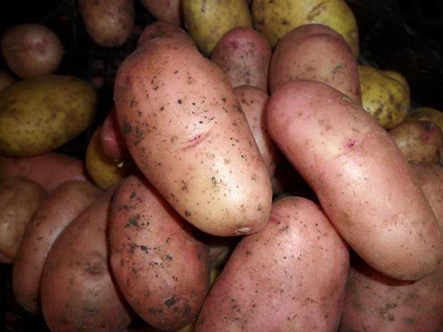 Сорт картофеля: Отрада