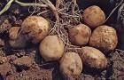 Сорт картофеля: Панда