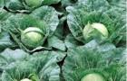 Сорт капусты белокочанной: Пандион f1