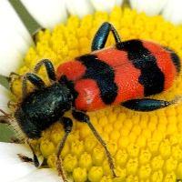 Пчеложук