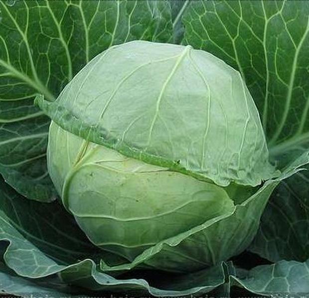 Сорт капусты белокочанной: Пегас   f1