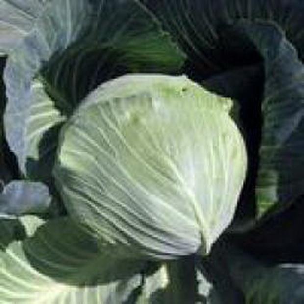 Сорт капусты белокочанной: Перфекта   f1